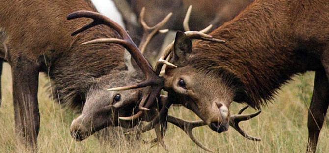 фото битвы оленей, к скульптуре венской бронзы