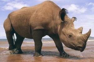 Фотогррфия носорога